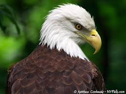 New York Birds images Eagles and hawks of new york jpg