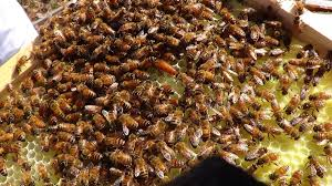 buzzing around westover welcomes honeybees to campus u2013 westover word