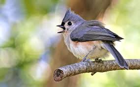look out the backyard bird alarm call network all about birds