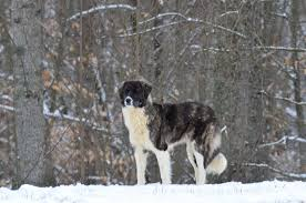 australian shepherd eyesight australian shepherd guaranteed happy healthy dogs dollsanddogs com