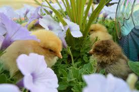 mixed backyard flock dozen colored eggs hen u0027s choice