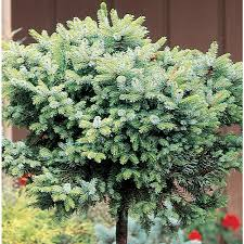 awesome shop gallon serbian spruce standard feature tree for