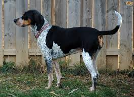 bluetick coonhound with cats more information on the bluetick coonhound pets4homes