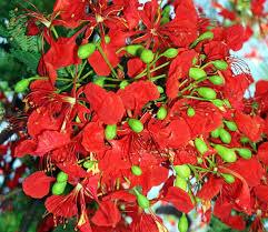 Tropical Rainforest Plant Species List - vascular plant image library caesalpiniaceae