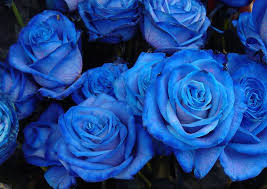 Blue Roses Chaska Pictures Blue Roses Meaning