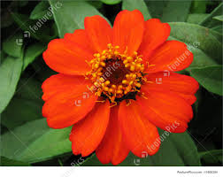 Zinnia Flowers Orange Zinnia Flower Image