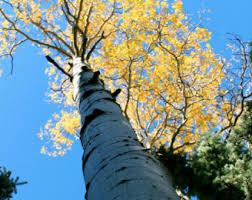 aspen tree wallpaper etsy