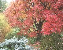 small ornamental maples