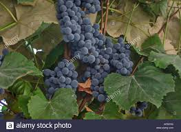 grapes vine trellis stock photos u0026 grapes vine trellis stock