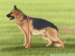 australian shepherd or german shepherd 5 ways to identify a german shepherd wikihow