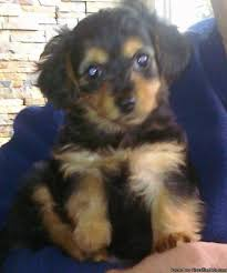 short haired dorkie mixes small dogs for sale small dogs dorkie s for sale yorkie mini