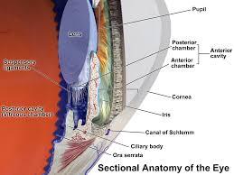 Anatomy Of A Cats Eye Ciliary Body Wikipedia