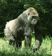 gorilla wikipedia le encyclopedia libere