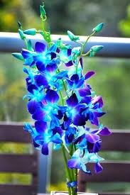 blue orchids blue orchid flower flowers
