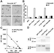 Np Full Form Plexin Neuropilin 1 Complexes Form Functional Semaphorin 3a