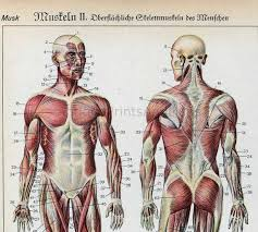 The Human Anatomy Muscles 38 Best A U0026p Help Images On Pinterest Health Human Anatomy And