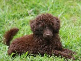poodle x bichon frise cute puppy dogs cute brown poodle puppy