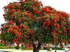 bottle brush tree flowers and leaves can be used for tea leaves