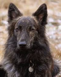belgian sheepdog tattoo dutch shepherd this is the most beautiful dog i u0027ve ever seen