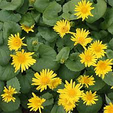 doronicum leopard s bane how to plant grow and care for doronicum
