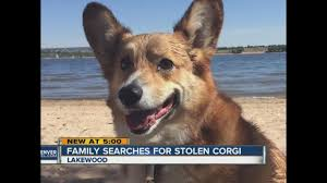corgi owners offer 200 reward for return of welsh corgi that was stolen