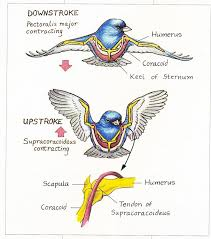 Tendons In The Shoulder Diagram The Amazing Muscles And Bones That Make Birds Fly Birdwatching
