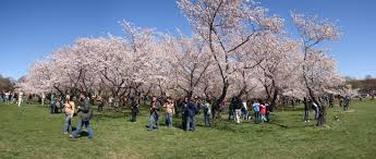 8 facts about washington dc s cherry blossom festival
