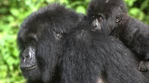 Gorilla by Bbc Earth Inbreeding Makes Mountain Gorillas Genetically Healthy
