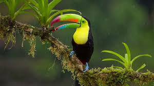 bird wallpapers toucan bird wallpapers toucan bird live images hd wallpapers