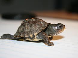the coolest box turtle ever u2013 toadmama com