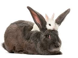 rabbit rabbit what s the difference between a rabbit and a hare merriam webster