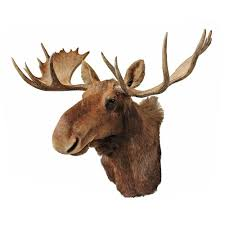 vintage taxidermy moose mount taxidermy moose and modern