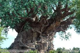 cool trees the trunk is gigantic another one of mother nature s miracles
