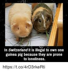 Shaved Guinea Pig Meme - in switzerland it is illegal to own one guinea pig because they