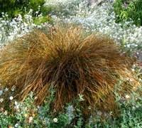 carex sedge grasses buy plants