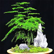asparagus fern 25 seeds for planting diy home garden lace fern