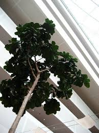 5 best indoor trees for the home or office indoor plants hq