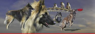 belgian shepherd ohio silvertrace shepherds at www myterv com belgian tervuren dogs