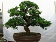 popular real bonsai trees buy cheap real bonsai trees lots from