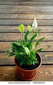 peace lily stock images royalty free images u0026 vectors shutterstock