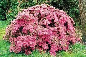 giardini rocciosi in ombra le acidofile piante eccellenti anche in mezz ombra giardinaggio