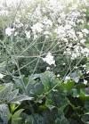 Photo of <b>Crambe</b> cordifolia