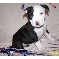 american pitbull terrier puppies louisiana mountain creek kennel american pit bull terrier breeder in
