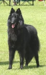 belgian shepherd uk dog club belgian shepherd dog groenendael gallery
