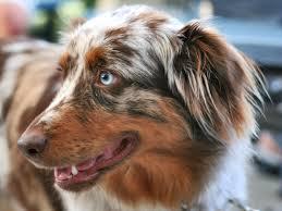 australian shepherd with blue eyes australian shepherd u2013 smart working dog beautiful australian