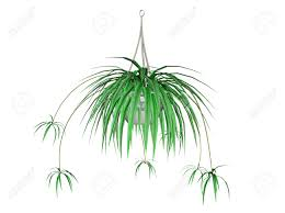 illustration of a spider plant a hanging plant stock photo