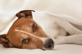 and spleen cancer hemangiosarcoma in dogs symptoms causes