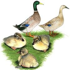 where to buy duck where to buy harlequin ducks coops and beautiful birds