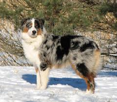 double r australian shepherds faithwalk aussies eyes pigment markings