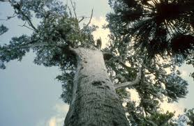 top 10 oldest trees around the world